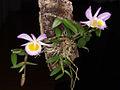 Dendrobium loddigesii - Flickr. 004.jpg