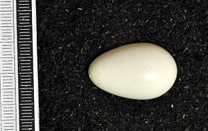 White-backed woodpecker - Egg, Collection Museum Wiesbaden
