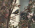 Dendroica coronata auduboni 04.jpg
