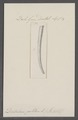Dentalium politum - - Print - Iconographia Zoologica - Special Collections University of Amsterdam - UBAINV0274 081 10 0026.tif