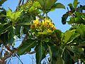 Deplanchea tetraphylla Kewarra 4721.jpg