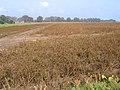 Desiccated potato haulms, Wargate Field, Gosberton, Lincs - geograph.org.uk - 260149.jpg