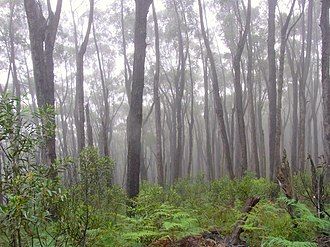 Eastern Australian temperate forests - Misty Deua Forest in the South Coast NSW, near Batemans Bay.