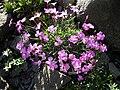 Dianthus gratianopolitanus 3.JPG