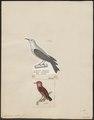 Dicaeum rubrum - 1700-1880 - Print - Iconographia Zoologica - Special Collections University of Amsterdam - UBA01 IZ19000273.tif