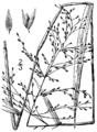 Dichanthelium scabriusculum BB-1913-1.png