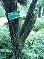 Dicksonia squarrosa 01 by Line1.JPG