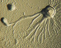 Dictyostelium Aggregation.JPG