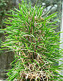 Didierea madagascariensis 3.jpg