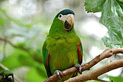 A green parrot with a blue-green forehead, red shoulders, a white beak, a black jaw, and white eye-spots