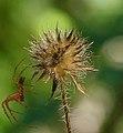 Dipsacus pilosus inflorescence (20).jpg