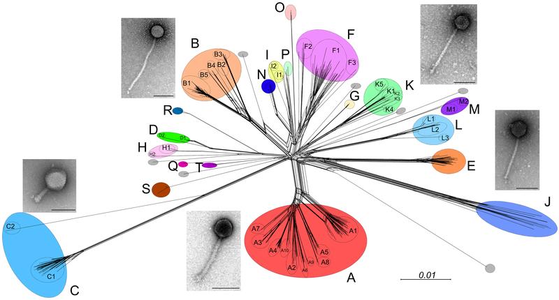 Mycobacteriophage - Wikipedia
