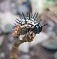 Doleschallia bisaltide philippensis (Autumn Leaf) larva on Graptophyllum pictum (Mindanao, Philippines) 4.jpg