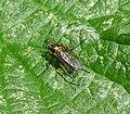 Dolichopodidae, probably Dolichopodinae - Flickr - gailhampshire.jpg