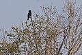 Dollarbird (Eurystomus orientalis) (5799647377).jpg