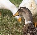 Domestic Duck (187706379).jpeg