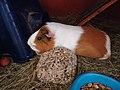Domesticated guinea pigs 2.jpg