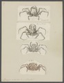 Dorippe nodulosa - - Print - Iconographia Zoologica - Special Collections University of Amsterdam - UBAINV0274 096 01 0006.tif