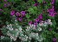 Dorycnium hirsutum ^ Geranium Anne Folkard - Flickr - peganum.jpg