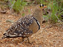 Double-banded Sandgrouse (Pterocles bicinctus) male (11668665953).jpg