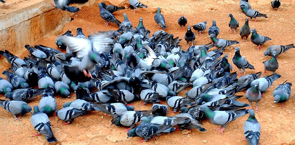 Doves fighting