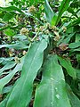 Dracaena fragrans (Leaves).jpg