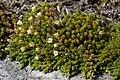 Dracophyllum muscoides.jpg