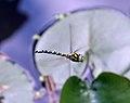Dragonfly in flight 3 (1351478562).jpg