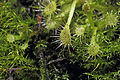 Drosera rotundifolia Linnaeus, 1753 300-3-9801.JPG
