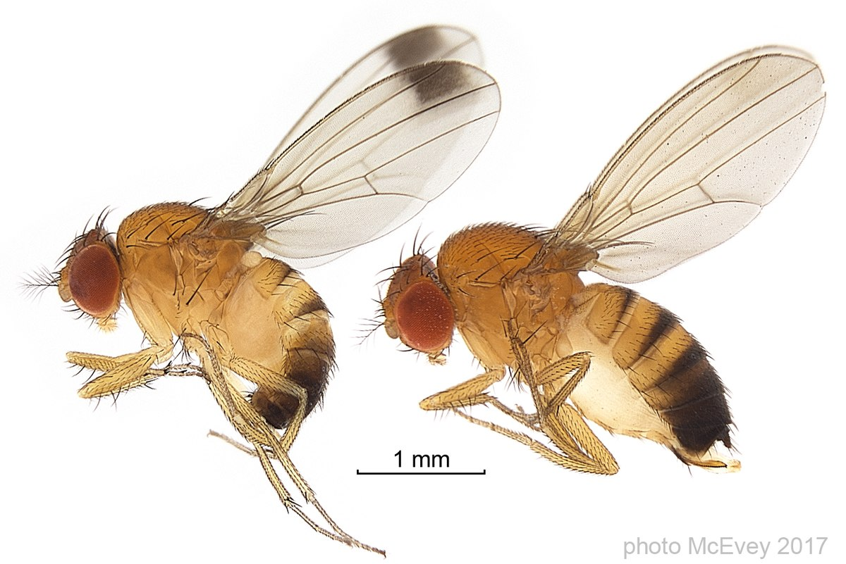 drosophila melanogaster Harrison, ra 1952: new zealand drosophilidae (diptera) i—introduction and descriptions of domestic species of the genus drosophila fallén transactions of the royal society of new zealand , 79: 505–517, plates 97-99.