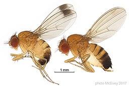 DrosophilasuzukiiphotoMcEvey
