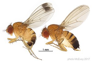 Drosophila suzukii - Male and female Drosophila suzukii