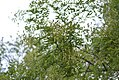 Drvenste vrste biljaka, Niška tvrđava, Niš, Srbija (45a).jpg