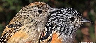 Klages's antbird - Image: Drymophila klagesi (Klages's Antbird) female and male (7612302738)