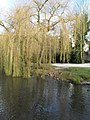 Ducks underneath the weeping willow in Millbrook - geograph.org.uk - 1629734.jpg