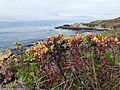Dudleya is a genus of succulent perennials, seen here in Harmony Headlands State Park 23 July 2011.jpg
