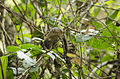 Dusky palm squirrel.jpg