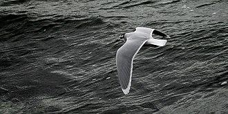 Little gull - Image: Dvärgmås Larus minutus Ystad 2013