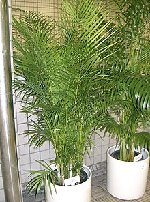 Areca-bambu