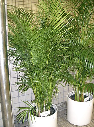 Dypsis lutescens - Image: Dypsis lutescens 1