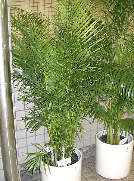 Air cleaning plants areca palm for Pictures of areca palm plants