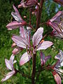 Dyptam jesionolistny Dictamnus albus2.jpg