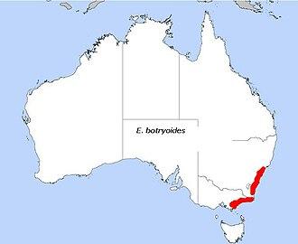 Eucalyptus botryoides - Image: E. botryoides