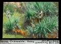 ETH-BIB-Crikvenica, Yucca-Dia 247-10335.tif
