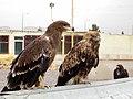 Eagle عقاب 04.jpg