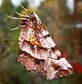 Early Thorn. (1st.generation). Selenia dentaria - Flickr - gailhampshire.jpg