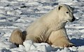 Earring the polar bear (6376996571).jpg