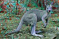 Eastern Grey Kangaroo 3D.jpg
