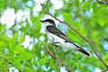 Eastern Kingbirds.jpg