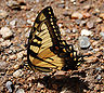 Eastern Tiger Swallowtail Papilio glaucus 2000px.jpg
